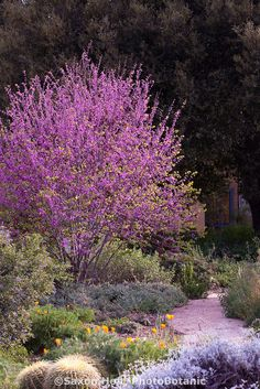 Tiny Garden Design Flowering Western Redbud tree (Cercis occidentalis) in Southern California drought tolerant.Tiny Garden Design Flowering Western Redbud tree (Cercis occidentalis) in Southern California drought tolerant Garden Shrubs, Garden Trees, Landscaping Plants, Trees To Plant, Landscaping Ideas, Garden Plants, Plants Indoor, Drought Resistant Plants, Drought Tolerant Landscape