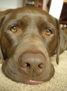 Chocolate lab - look at that lip!