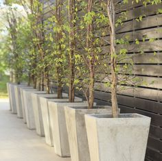 Tips For Growing Trees In Containers: Boxwood, Star Magnolia, Crepe Myrtle, fruit trees.