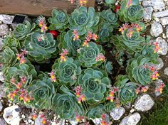 More succulent plantings.  Looks like this cluster was planted in a spiral.  I like this... just another idea with potential.  Is this seba milenium evleri ? modern landscape