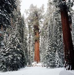 sequoia El Presidente The Presidente giant tree2