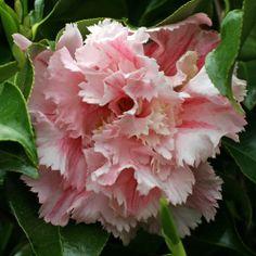 Camellia 'Cinderella'