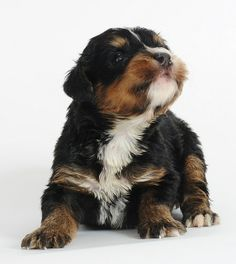 Swissridge Kennels. For when we're ready to bring home our bernedoodle in a few years :) Angus' future brother! <3