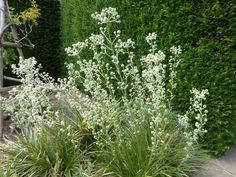 eryingium and yew hedge