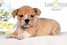#EnglishBulldog #Charming #PinterestPuppies #PuppiesOfPinterest #Puppy #Puppies #Pups #Pup #Funloving #Sweet #PuppyLove #Cute #Cuddly #Adorable #ForTheLoveOfADog #MansBestFriend #Animals #Dog #Pet #Pets #ChildrenFriendly #PuppyandChildren #ChildandPuppy #LancasterPuppies www.LancasterPuppies.com