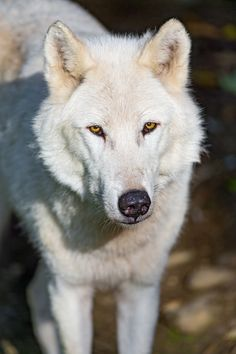Standing Cesar | A portrait of Cesar the male wolf, in the sun.