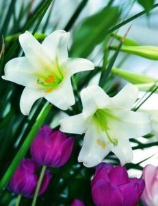 How to Keep Easter Lilies
