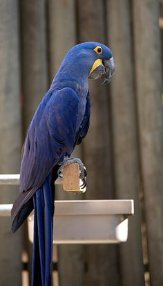 The Lear's Macaw (Anodorhynchus leari), also known as the Indigo Macaw, is a large, all blue Brazilian parrot that is a member of a large group of Neotropical parrots known as macaws. The Lear's Macaw is 70–75 cm. (28–30 in.) long and weighs around 950 g. (2.1 lb.). It is metallic blue with a faint, often barely visible tinge of green, and a yellow patch of skin at the base of the heavy, black bill. This macaw is rare with a highly restricted range.