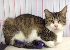Princess - I am a very affectionate female tiger. I was unfortunate to have lost an eye in my past, but I still get along fine :) I am patiently waiting for my forever (and safe) home.  ADOPT ME!    http://www.animalkind.info/content/Adoption_Application/Adoption_Application
