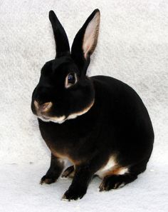 Mini rex buck rabbit with black otter fur color.