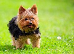 Did you know - The smallest dog on record was a Yorkshire Terrier in Great Britain who at the age of 2, weighed just 4 ounces.