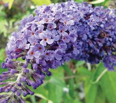 Adonis Blue Dwarf English Butterfly Bush Buddleja davidii 'Adokeep' Roughly a third the size of other Butterfly Bush varieties, this selection from the compact English Butterfly™ Series is extra bushy