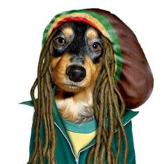 """Pets Rock Reggae Canvas Wall Art Multi - Bringing a vibe of the infectious Jamaican culture, is this Pets Rock """"Reggae"""" Canvas Wall Art. The doggy in dreadlocks and a bright green background, brings your home one love and spice. Bob Marley, Marley Dog, Funny Animals, Cute Animals, Le Zoo, Dog Cushions, Dachshund Love, Daschund, Dog Costumes"""