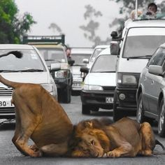 Only in Kenya will Lions obstruct traffic