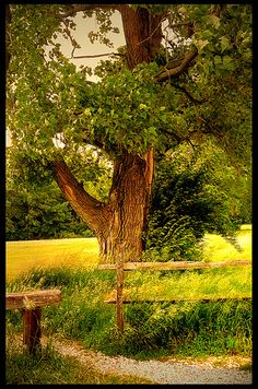 The old oak tree - I like how it only shows part of the tree.