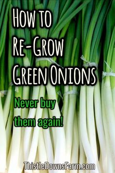 Learn how to take the root ends of your green onions and re-grow them over and over again! This is a super easy project and is a great learning experience for kids. If you love green onions, you'll never need to buy them again. Learn more at ThistleDownsFarm.com | #greenonions #indoorgardening #propagation #selfsustainable