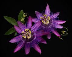 #Flower #PassionFlower #Purple :)