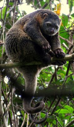 Sulawesi Bear Cuscus (Ailurops ursinus) by AdvoKat_ - Katrin Lowe. Vulnerable. The Sulawesi bear cuscus, named for its thick, dark and bear-like fur, is not a true bear but an arboreal marsupial. It uses its elongated claws and long, prehensile tail to navigate the upper canopy. Native to the island of Sulawesi in Indonesia.