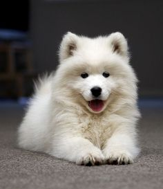 Samoyed! by tiquis-miquis