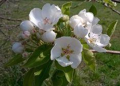 utimorzsák: Vadkörte virága