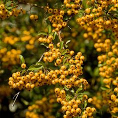 Pyracantha 'Soleil d'Or' plants from Thompson & Morgan - experts in the garden since 1855 Large Plants, Potted Plants, Shrubs, Seeds, Planters, Fruit, Garden, Flowers, Products