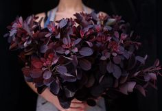 Королевский пурпурный котинус