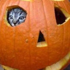 Just 18 more days till Halloween!! #halloween #fun #kitty #kitten #jackolantern #pumpkin