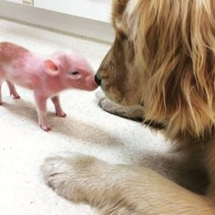 As cute as this is I just can't give up bacon. Or pork chops. (x-post r/goldenretrievers) http://ift.tt/2ftFGVa