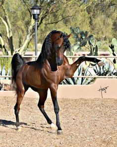 "Arabian Bay Stallion ""He trots the air; the earth sings; the sound of hoof striking earth more musical than the pipe of Hermes."" #Horse #Equine"