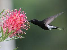 Foto beija-flor-preto (Florisuga fusca) por Marco O. Campos   Wiki Aves - A Enciclopédia das Aves do Brasil