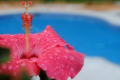 Hibiscus raindrops