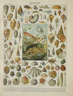 """Antique MOLLUSCS print.1898 chromolithograph 117 years old print.Antique French book plate.12,1x9,2"""",31x23cm.Molluscs engraving."""