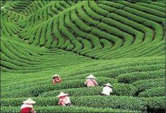 Hangzhou tea plantation, 3hrs from Shanghai, soooo calming.