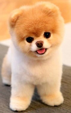 Meet Boo, the world& cutest dog. Meet Boo, the world& cutest dog. The post Meet Boo, the world& cutest dog. appeared first on Pink Unicorn. Cute Teacup Puppies, Cute Dogs And Puppies, Baby Dogs, Doggies, Teacup Dogs, Teacup Animals, Cute Animals Puppies, Pet Dogs, Puppies Puppies