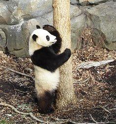 Panda SALUTE!