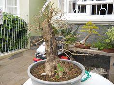 Duranta_grande_Ricardo_Paiva (3)fb Duranta, Bonsai Garden, Gifs, Beautiful, Gold, Handmade Crafts, Plants, Gifts