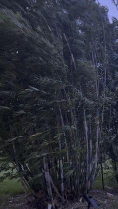 Baby Blue bamboo blowing in the wind Juno Beach, Hallandale Beach, City Beach, Royal Palm Beach, West Palm Beach, Pompano Beach, Delray Beach, Bamboo Plants For Sale, Ocoee Florida