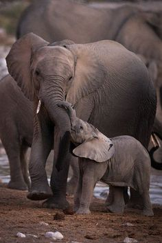 Cute Overload: Internet`s best cute dogs and cute cats are here. Aww pics and adorable animals. Elephant Love, Elephant Art, African Elephant, Elephant Images, Elephant Family, Elephants Never Forget, Save The Elephants, Cute Baby Animals, Animals And Pets