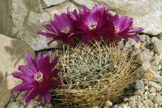Sulcorebutia caracarensis MC 6309