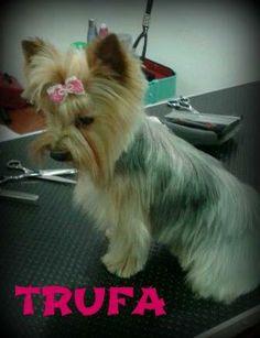 Así de guapa quedó Trufa tras su corte a tijera. #mascotas #peluqueriacanina #granada #perros #yorkshire