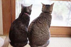 つついにこんな日が おはよっフクちゃん&ガブちゃん  もう後ろ姿がおしどり夫婦の様な佇まい あんなに仲が悪かった2匹が こんなに仲良くツーショット  これも子猫効果かな (o) #フクちゃん #ガブちゃん #猫 #ねこ #ねこ部 #neko #cat by dragon_two