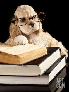 American Cocker Spaniel Wearing Reading Glasses Premium Poster by Lilun at Art.com