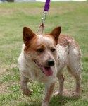 Red Heeler Jack Russell Mix.  Not my dog, but looks like my Skippy who is a Red Heeler and Jack Russell mix. He is 14 and is a great companion. He has extreme OCD