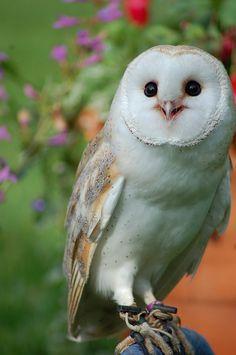 simply-beautiful-world: ❥‿↗⁀simply-beautiful-world katedaviesdesign: barn owl glare Baby Owls, Baby Animals, Cute Animals, Baby Barn Owl, Owl Photos, Owl Pictures, Beautiful Owl, Animals Beautiful, Simply Beautiful