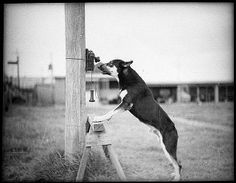 Tess the Police Dog,1935. Photo by Sam Hood, State Library of New South Wales collection.