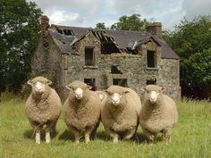 Clogherney Sheep, County Tyrone, Northern Ireland |