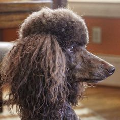 Wish we had photos of Wendy (SP), Charlie (SP), Crystal (Mini Poodle), Suji and Rip, (Lhasas), Annie (Airedale), Lucy (SP) but all beloved Molly the SP as a lonely single girl LOL