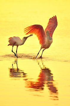 Roseate Spoonbill Pair in Golden Water, Ding Darling Wildlife Refuge, Sanibel Island, Florida by Scott Grant, via Flickr