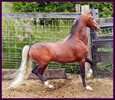 American Shetland Pony stallion Bar Z's Great Balls Of Fire