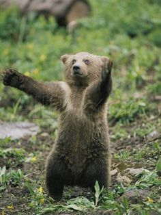 A Grizzly Bear Cub Stands with Arms Outstretched - photo by Tom Murphy